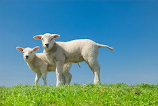 This is an image of lambs